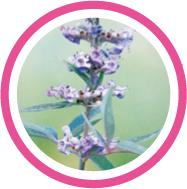 Le laboratoire Salvia, utilise l'huile essentielle de gattilier ou arbre au poivre, pour ses effets sur l'équilibre hormonal féminin. Il permet aussi de réduire les troubles de la ménopause.