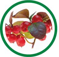 Le laboratoire Salvia, spécialiste des compléments alimentaires naturels utilise l'huile essentielle de gaulthérie (gaultheria fragrantissima) pour ses effets sur l'apaisement de la douleur.