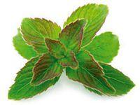 Salvia utilise la périlla pour en extraire l'huile végétale connue pour sa forte teneur en omégas3, mais également l'huile essentielle pour ses bienfaits contre les rhumes des foins