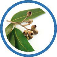 Le laboratoire Salvia, spécialiste des compléments alimentaires naturels utilise les huiles essentielles d'eucalytus radiata et globulus car elles ont en effet reconnues sur les voies respiratoires.