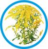 Le laboratoire Salvia utilise l'huile essentielle de Solidage du Canada (solidago canadensis), pour sont action circulatoire et tonifiante de l'appareil sexuel masculin au moment de l'andropause.