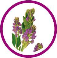 Le laboratoire Salvia, spécialiste des compléments alimentaires naturels utilise l'alfalfa connu pour limiter la fonte musculaire grâce à sa teneur en protéines, nutriments et minéraux